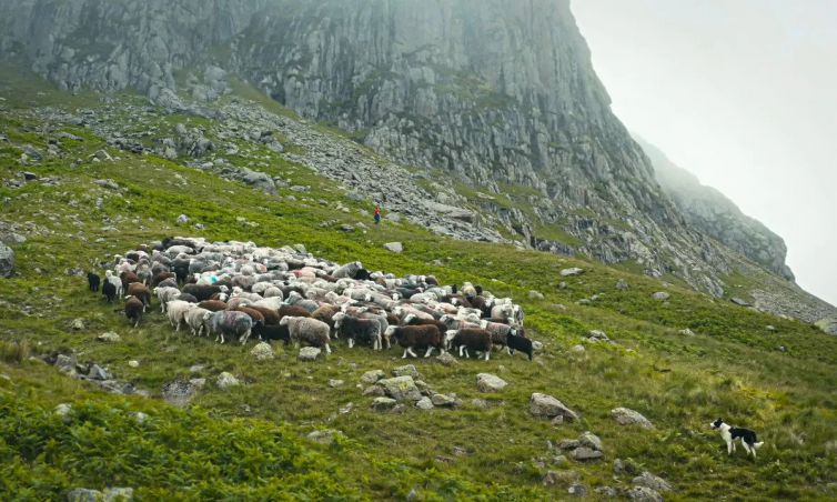The Great Mountain Sheep Gather